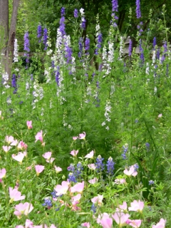 Larkspur Photo Credit M Sinclair Stevens